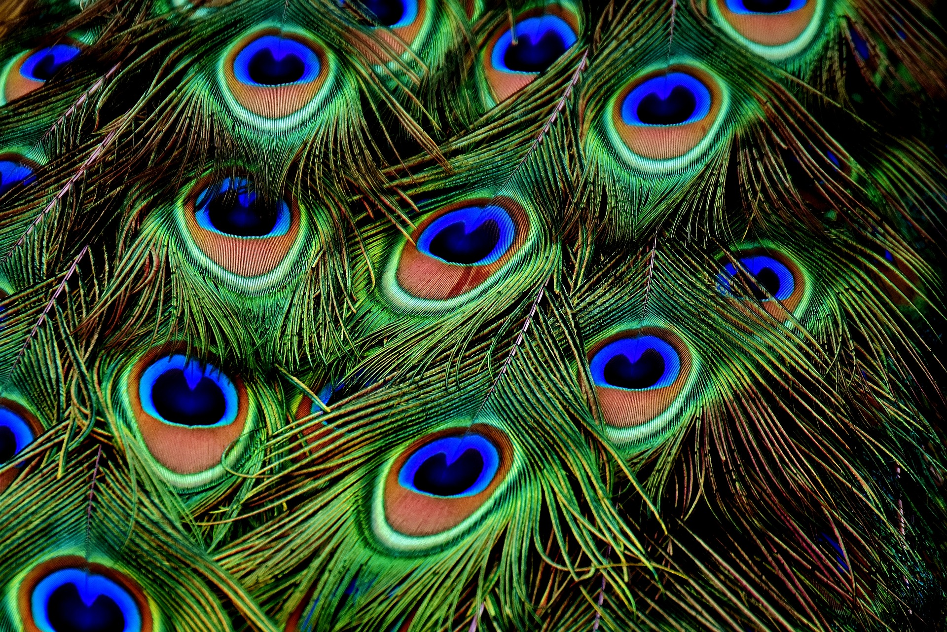 peacock-feathers-3013486_1920